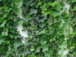 Ivy Covered Wall Friday Freebie Photographic Background Paper